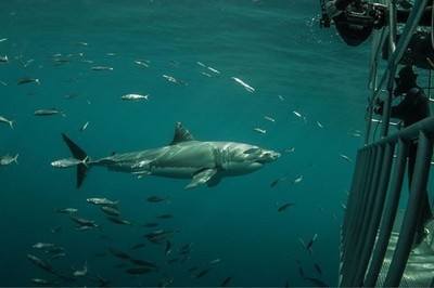I really enjoy capturing peaceful nature and human interaction. It makes me hopeful that we can continue to make life better for these creatures and others that need our help. #savethesharks #divewithsharks #sharksarecool #greatwhite #whiteshark #finsaref