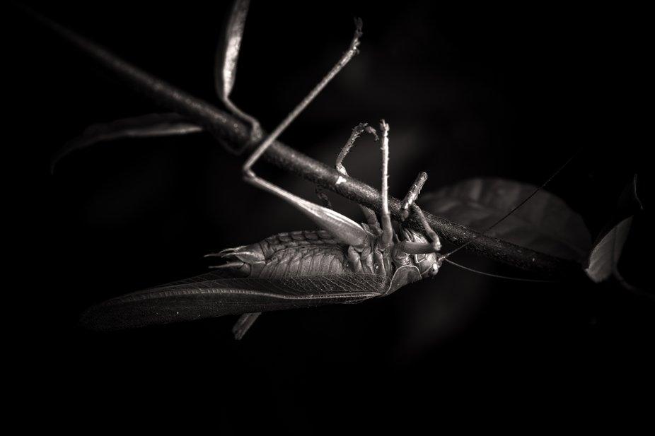 mangosta