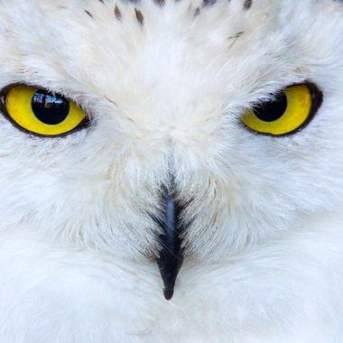 A crop of a snowy owl.