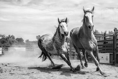 horses b&W-1461