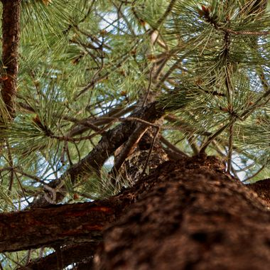 Looking up the trunk of a fir tree