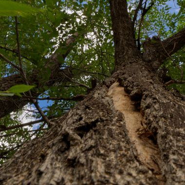 View Up a Scarred Tree Trunk