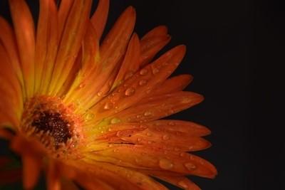 Bi color gerber Daisy