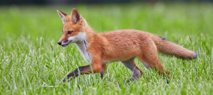 Fox Hunt by danielprice_4060 - Orange Tones Photo Contest