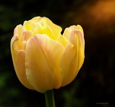 Lemony Yellow Tulip