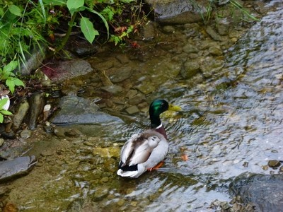 wild male duck in the river P1270869