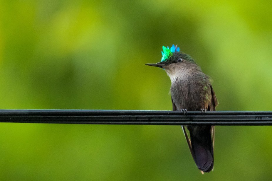 "Endemic of the Antilles island,  the Antillean Crested hummingbird is called ""foufou&..."