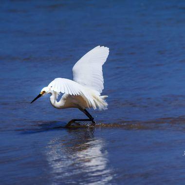 Egret in the Ocean