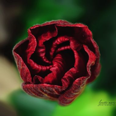 Hibiscus Rolled Blossom