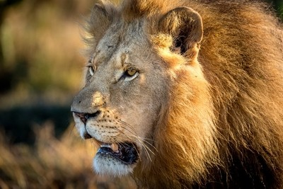 Male Lion - South Africa