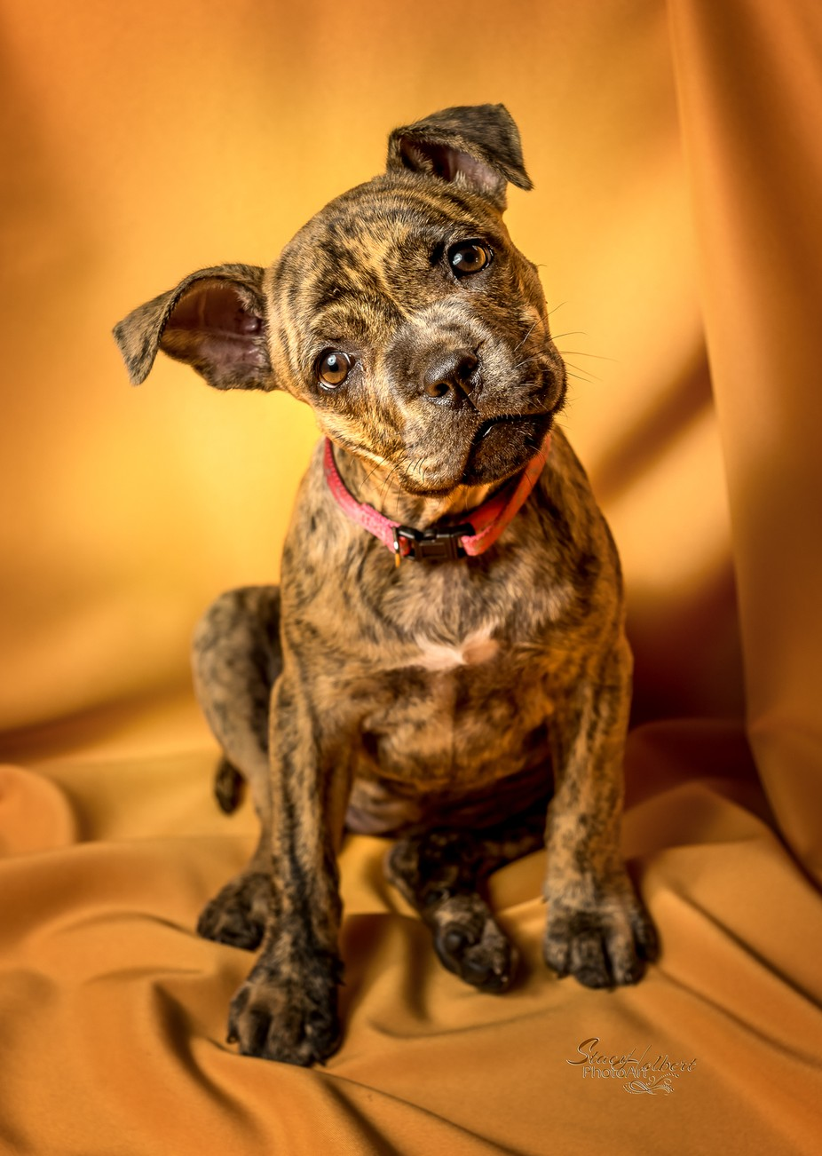 Pitbull puppy by sjholbert - Kittens vs Puppies Photo Contest