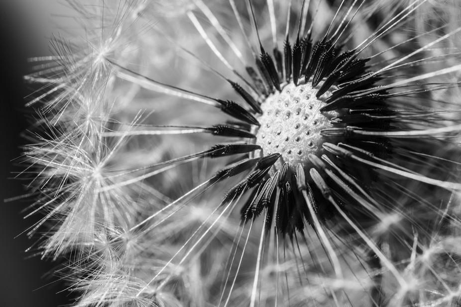 Dandelion Macro Black and White
