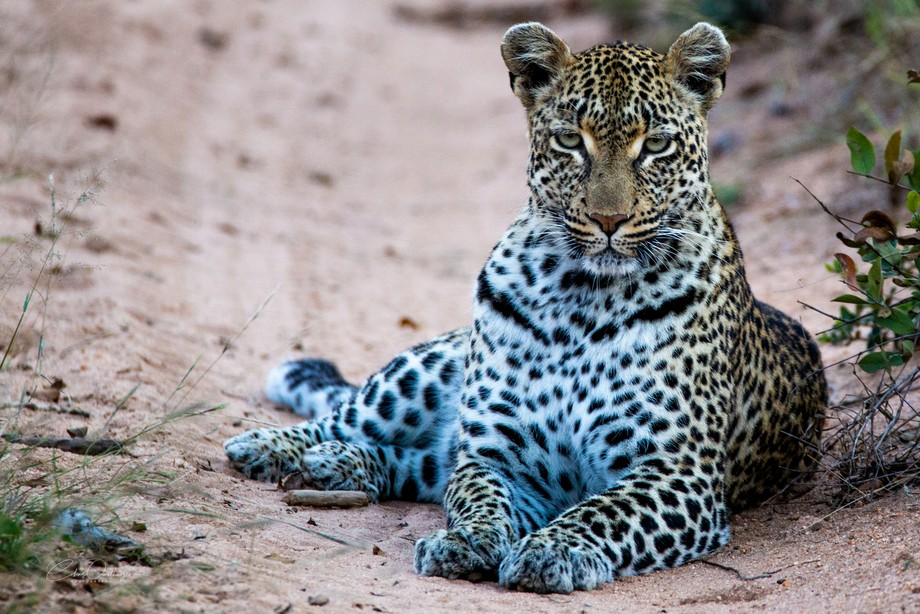 Leopard blocking the road on a game drive