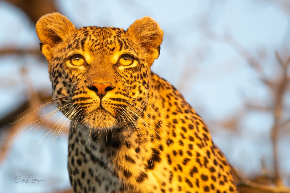 Leopard at the Golden Hour