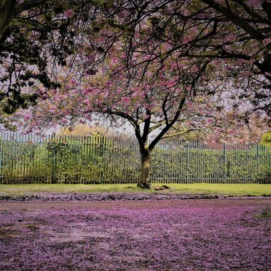 Lovely Park with cherry blossom at its very best petals scattered like confetti