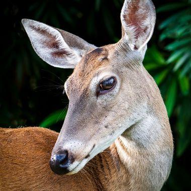A young doe near Lake Travis, Texas