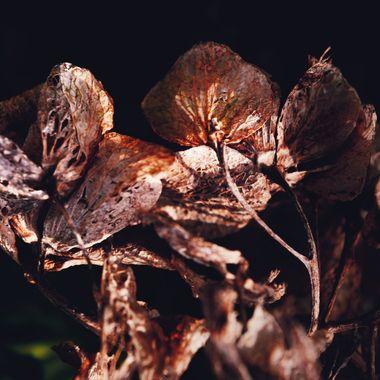 Hyacinth Skeletons