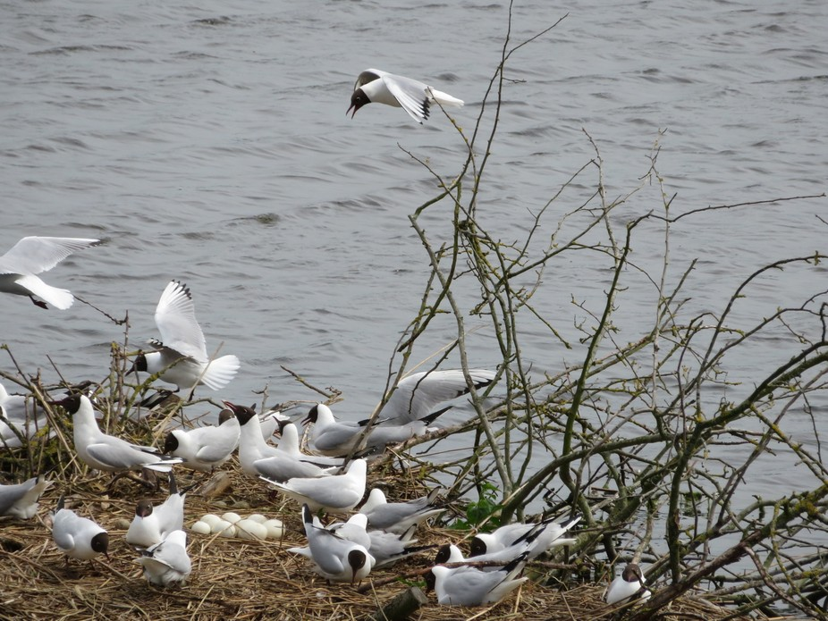 Awesome island of gulls sharing nest and guarding nest