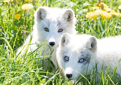 Arctic fox and kit
