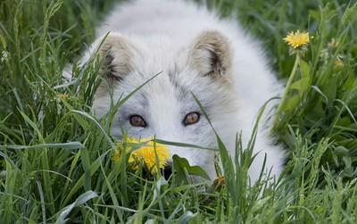 Arctic fox kit (Vulpes lagopus) in the grass