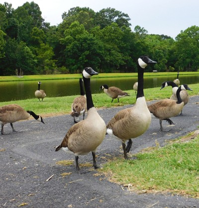 Long Necked Geese