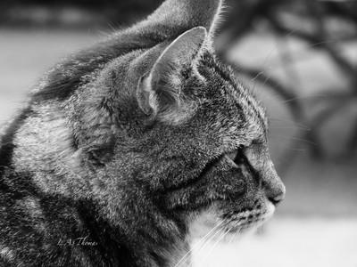 tabby in profile