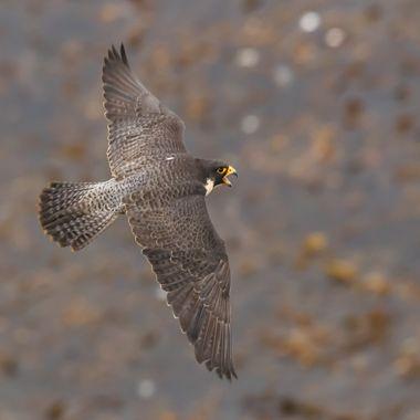 Peregrine Falcon-7591