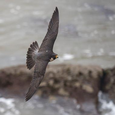 Peregrine Falcon-7601