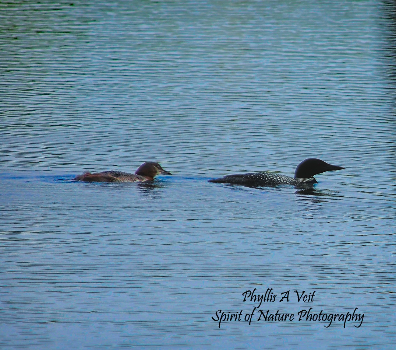 Mom and young Loon.