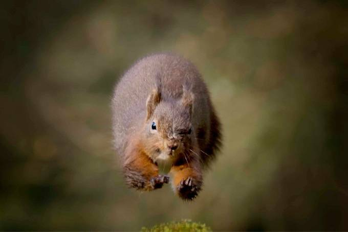 Red squirrel  by Bob-Riach - Fast Photo Contest