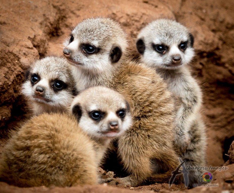 a litter of meerkittens in a huddle, taken at Monarto Zoo, South Australia