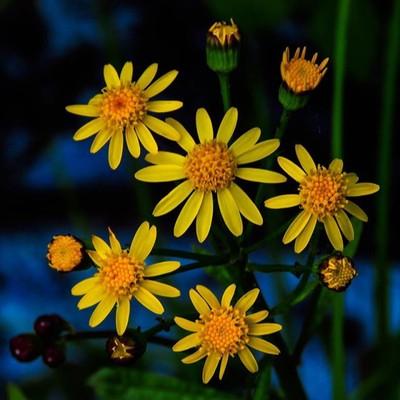 Golden Ragwort in various stages of bloom.  #trailsend #goldenragwort #wildflowers #wildflowerphotography #wildflowersofinstagram #flora_addict_wildflower #pocket_flowers #raw_flowers_ #canon_photos #canonglobal #wander #wetlands #outthebackdoor #backyard
