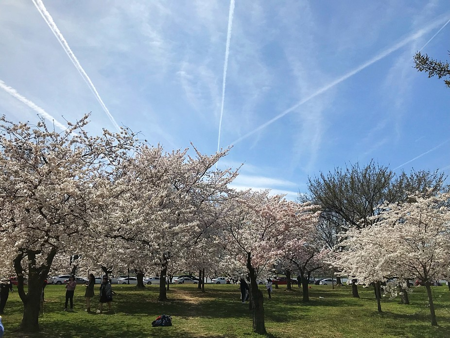 Washington DC.  Cherry Blossoms 2018