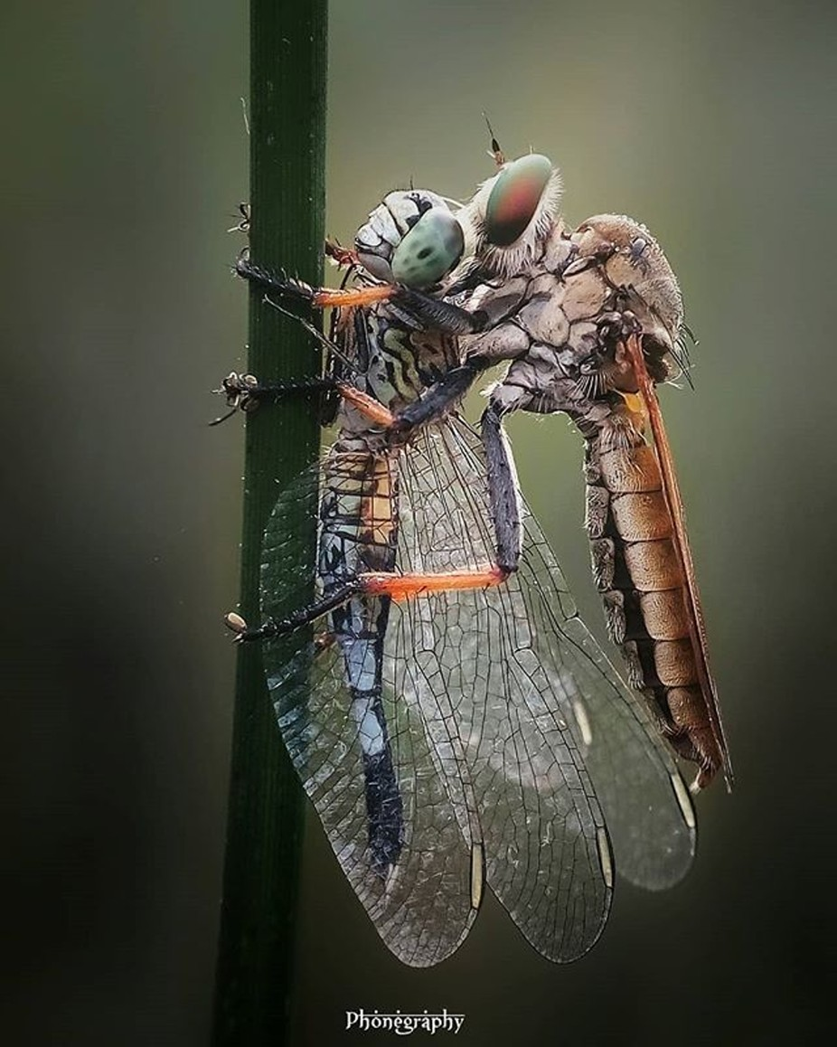 Robberfly by Deniard - Covers Photo Contest Vol 48