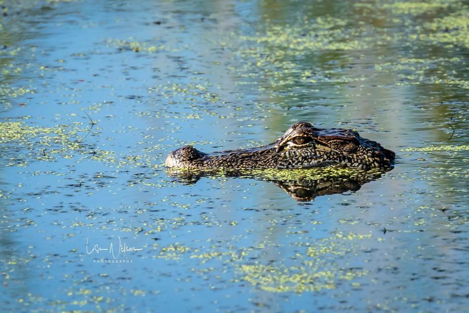 Alligator trolling for......something... Anahuac National Wildlife Refuge