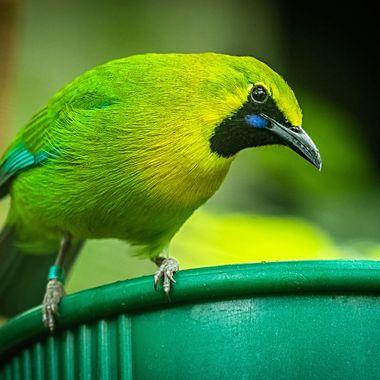 A Bellbird