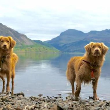 Tollers in the Lake District.