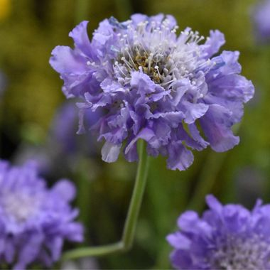 Trio of cornflowers