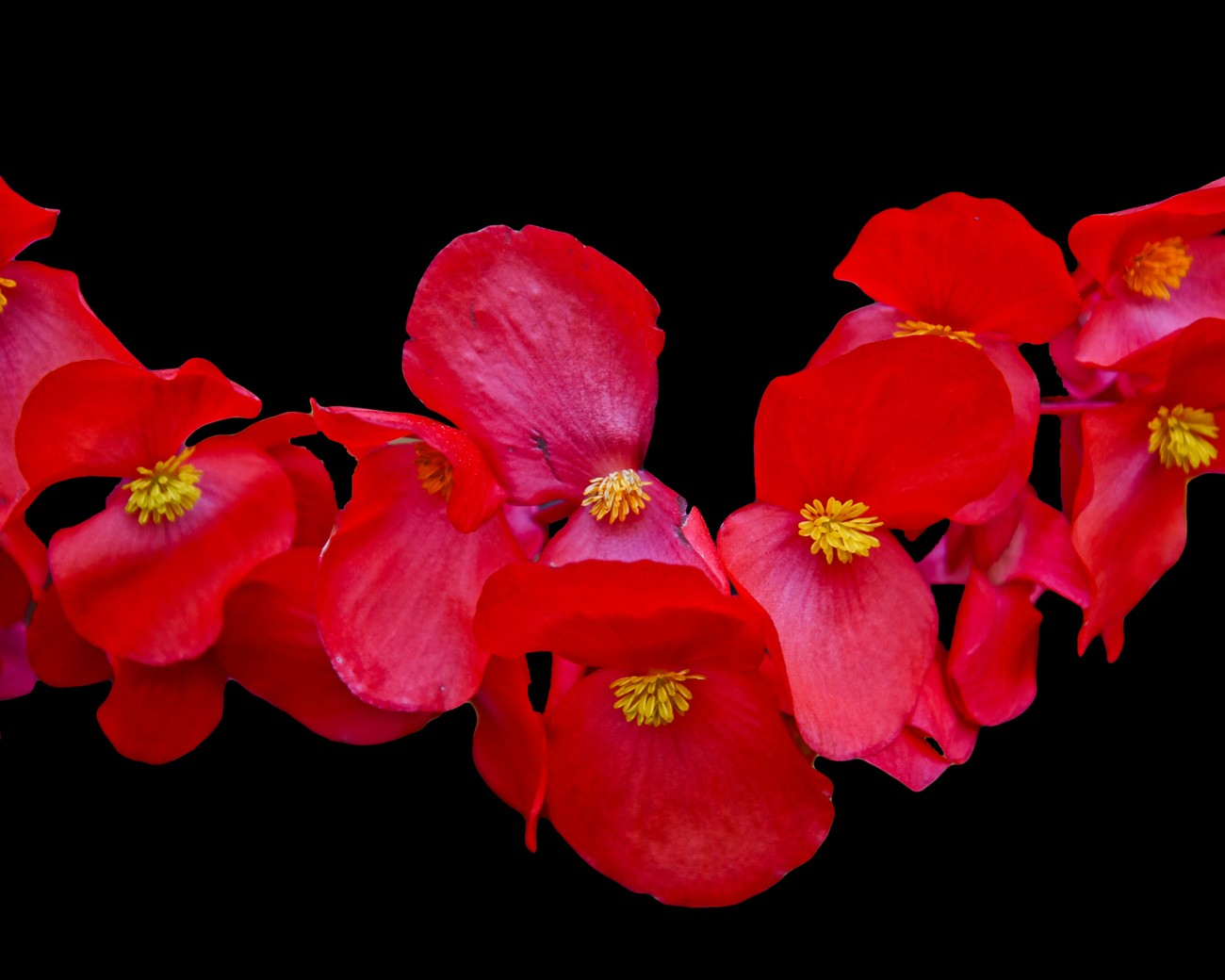 Red begonia flowers.  Photo taken in my sister's backyard in Amherst, NY