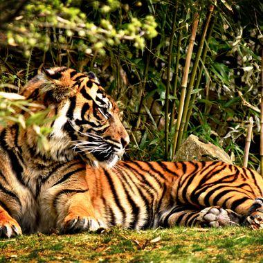 Observant Tiger.