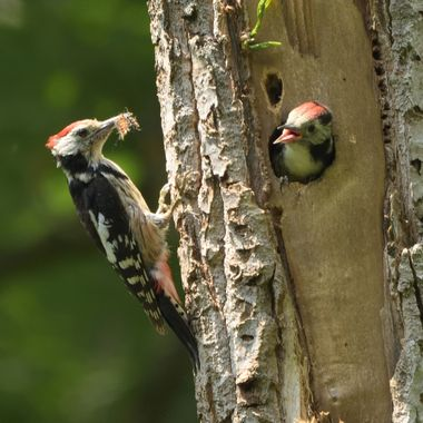 Feeding Middle Spotted Woodpecker (Dendrocopos medius)