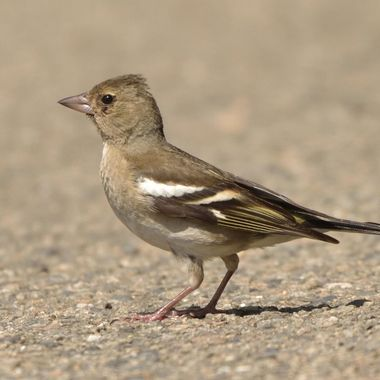 Common chaffinch, female (Fringilla coelebs)