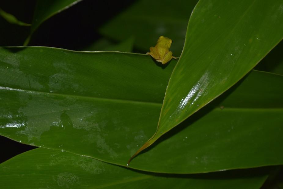 Pseudophilautus asankai photographed at Sri Pada, Sri Lanka IUCN: endangered (threatened by agroc...