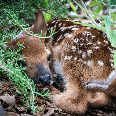 A new born fawn staying hidden where mom placed it, near Lake Travis, Texas