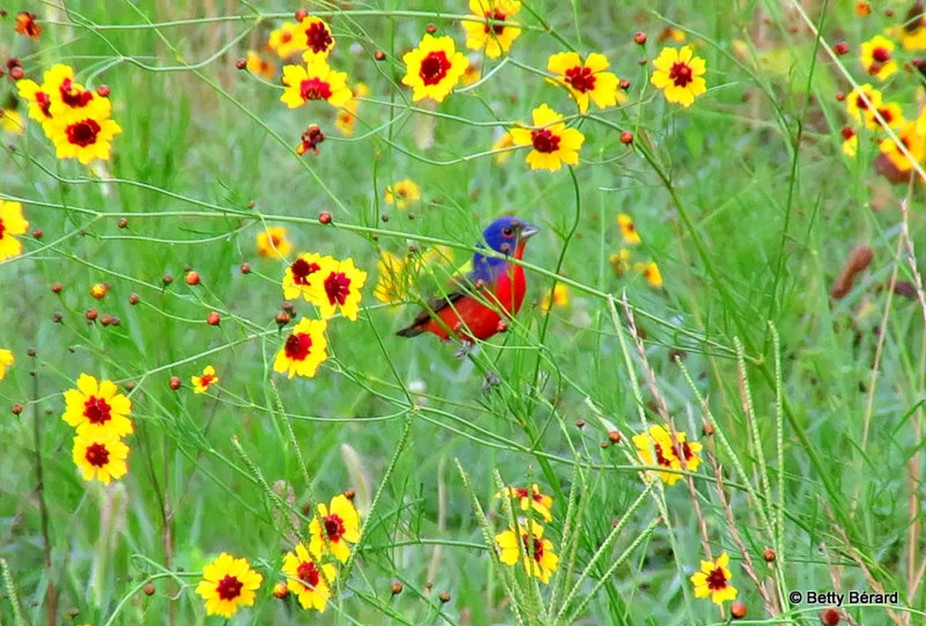 Painted Bunting in a Field of Wildflowers