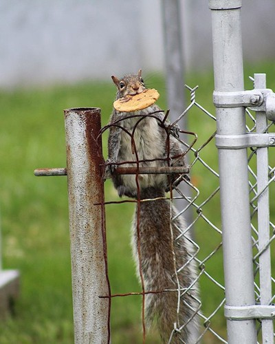 #squirrel #cookie #fence #photography