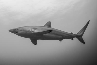 BW Shark