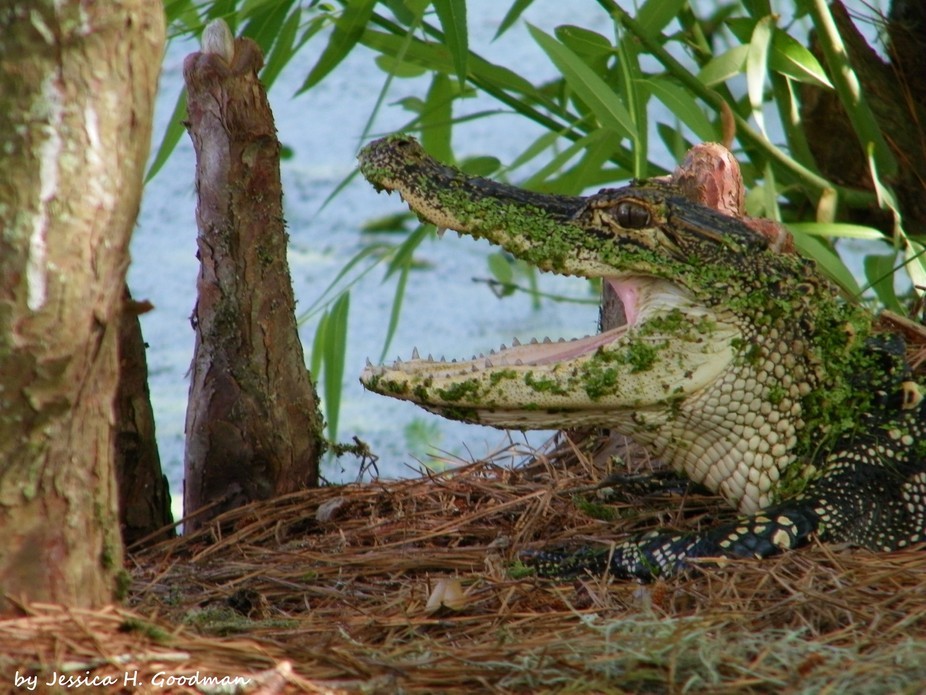 Small alligator on the Audubon Swamp Garden Trail at Magnolia Plantation, Charleston, SC.   I kep...