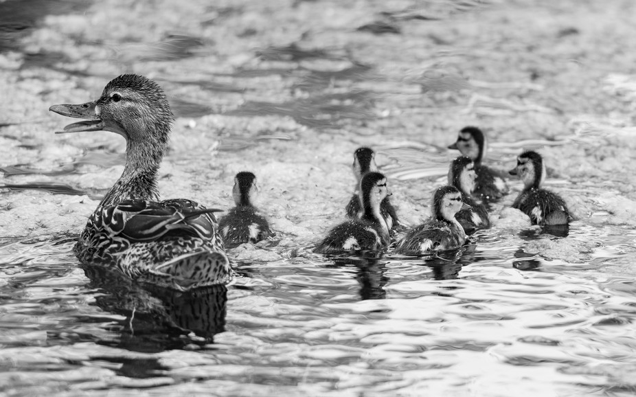 duckfamilyb&w