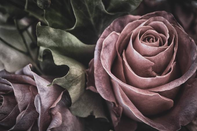 Vintage Rose by EnfocarPhotography - Creative Reality Photo Contest